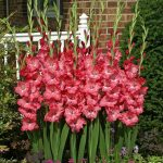Chit-Chat Gladioli Variety - LM Bolle, Norwich Ontario