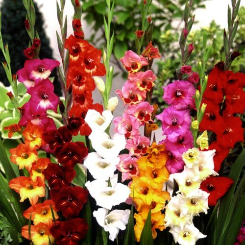 Commercial Mixture - L.M. Bolle Gladiolus, Norwich Ontario
