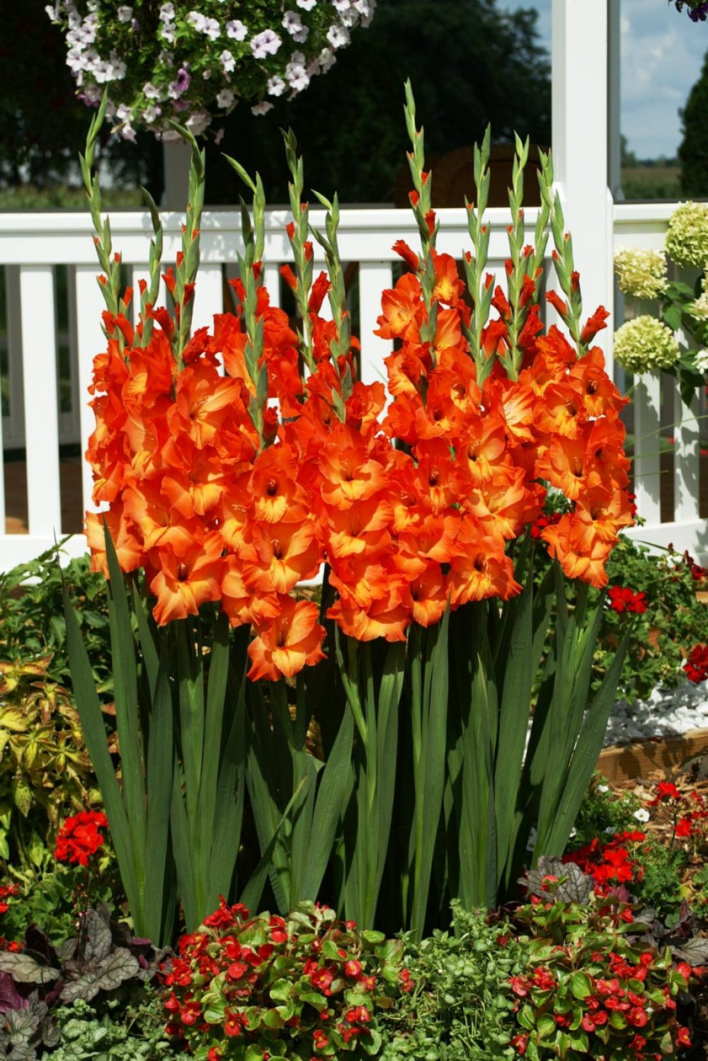 Sun-Kissed Gladioli Variety - LM Bolle, Norwich Ontario