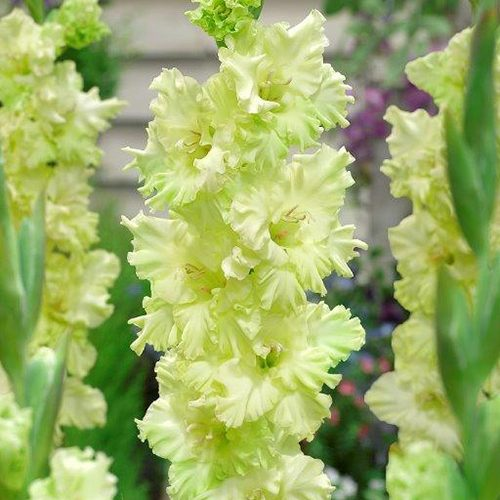 Green Flash Gladioli Variety - LM Bolle